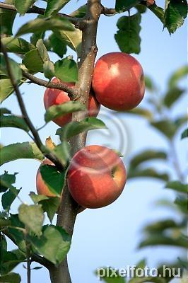 apple, green, yellow, red, fruit, leaf, leaves, tree, limb ...